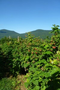 Raspberries are ready at Mad Tom Orchard