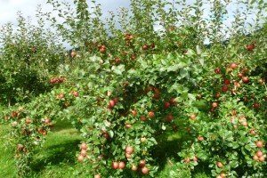Honeycrisp ready for picking
