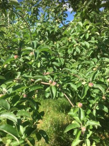 IMG_1524 - apples - small